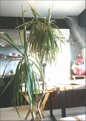 シゲキ君(観葉植物)